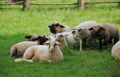 sheep_lambs_flock_of_sheep_animal_children_spring_meadow_sch_fchen_nature-618094 (1)